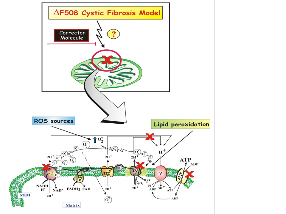 Mitochondria And Cystic Fibrosis Transmembrane Conductance Regulator