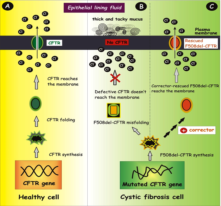 Mitochondria and Cystic Fibrosis Transmembrane Conductance